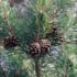Pinus sylvestris 70x70 - Il Kit del Profumiere -