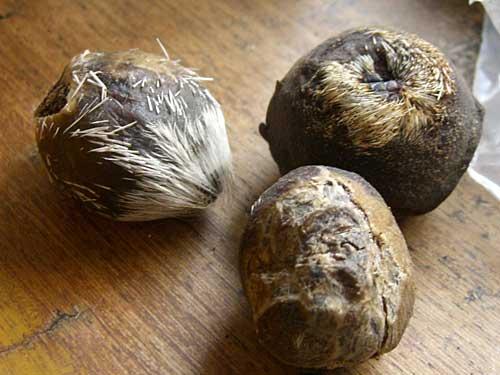 moschus moschiferus pods - Il Muschio del Cashmir -