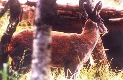 musk_deer