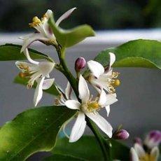 Neroli Citrus aurantium bigarade