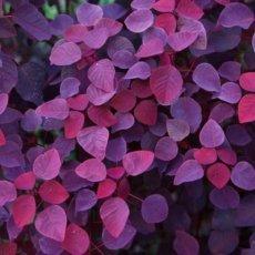 Pink And Violet Leaves 230x230 - Violetta (foglie) - profumi-erbacei, profumi-speciali-profumoterapia, profumoterapia