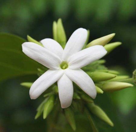 fiore di gelsomino 450x436 - Gelsomino d'Egitto - profumi-di-fiori-gli-oli-essenziali, oli-essenziali, aromaterapia, profumi-di-fiori, profumoterapia