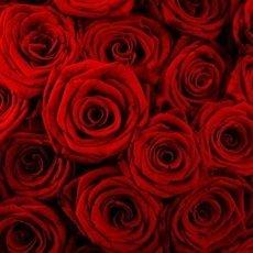 rose rosse 230x230 - Rosa Turca (Olio Essenziale) - profumi-di-fiori-gli-oli-essenziali, oli-essenziali, aromaterapia, profumi-di-fiori, profumoterapia