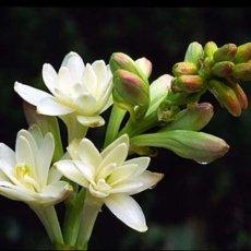 tuberosa 1 230x230 - Tuberosa - oli-essenziali, aromaterapia, profumi-di-fiori, profumoterapia